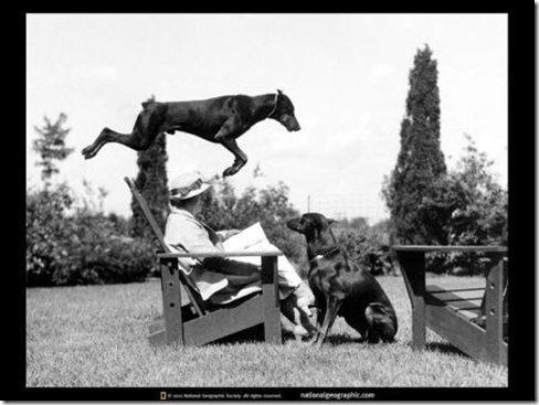 leaping-doberman-551372-sw
