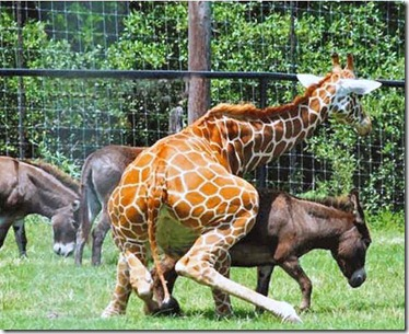 humpday girafe_mule